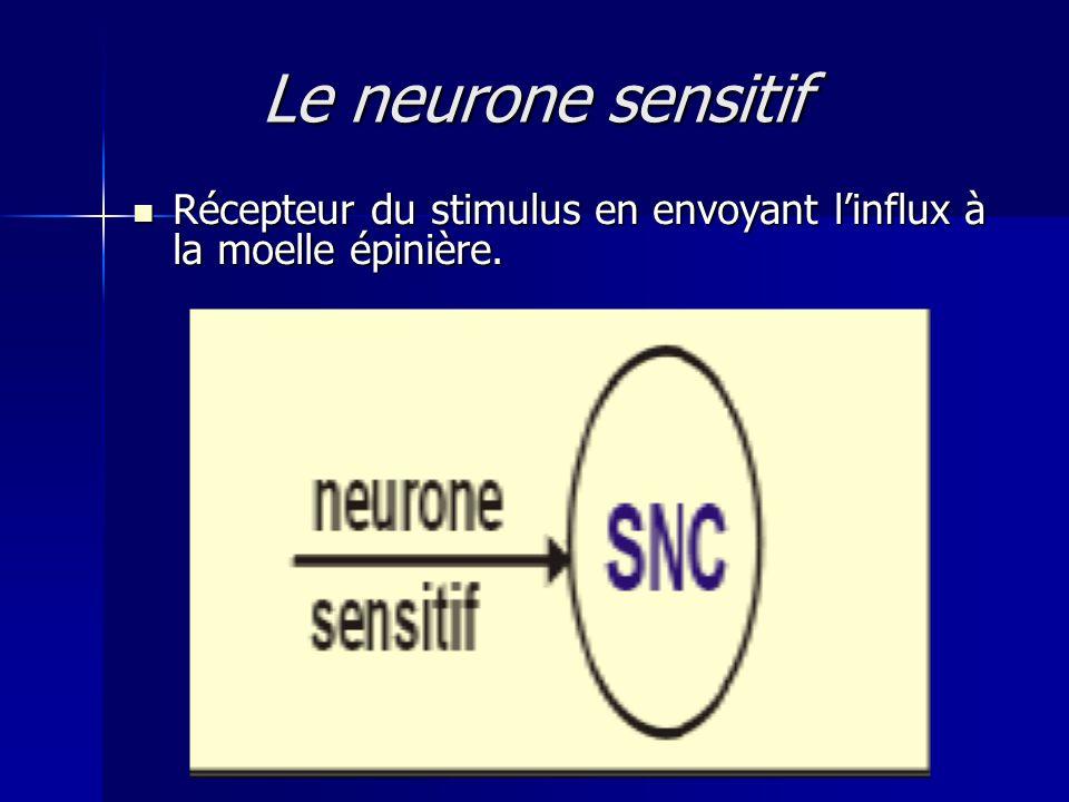 Le neurone sensitif Récepteur du stimulus en envoyant linflux à la moelle épinière. Récepteur du stimulus en envoyant linflux à la moelle épinière.