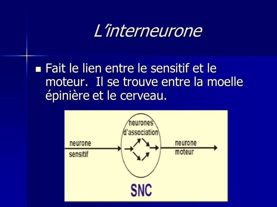 Linterneurone Fait le lien entre le sensitif et le moteur. Il se trouve entre la moelle épinière et le cerveau. Fait le lien entre le sensitif et le m