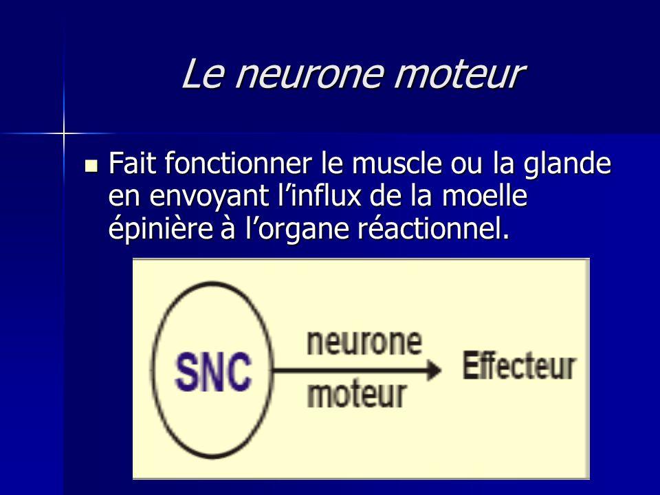 Le neurone moteur Fait fonctionner le muscle ou la glande en envoyant linflux de la moelle épinière à lorgane réactionnel. Fait fonctionner le muscle