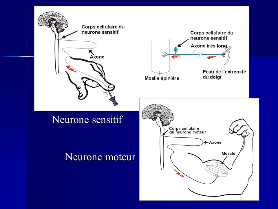 Neurone sensitif Neurone moteur