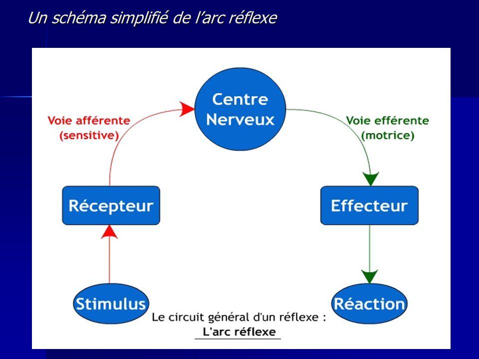 Un schéma simplifié de larc réflexe