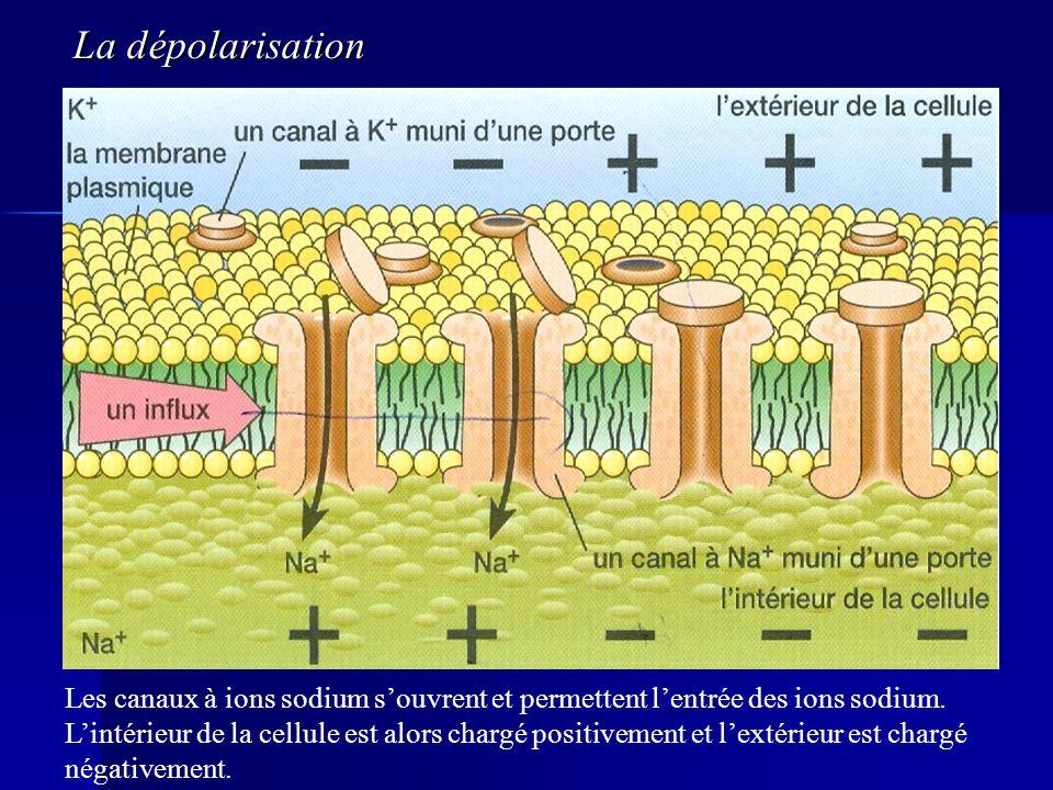 Les canaux à ions sodium souvrent et permettent lentrée des ions sodium. Lintérieur de la cellule est alors chargé positivement et lextérieur est char