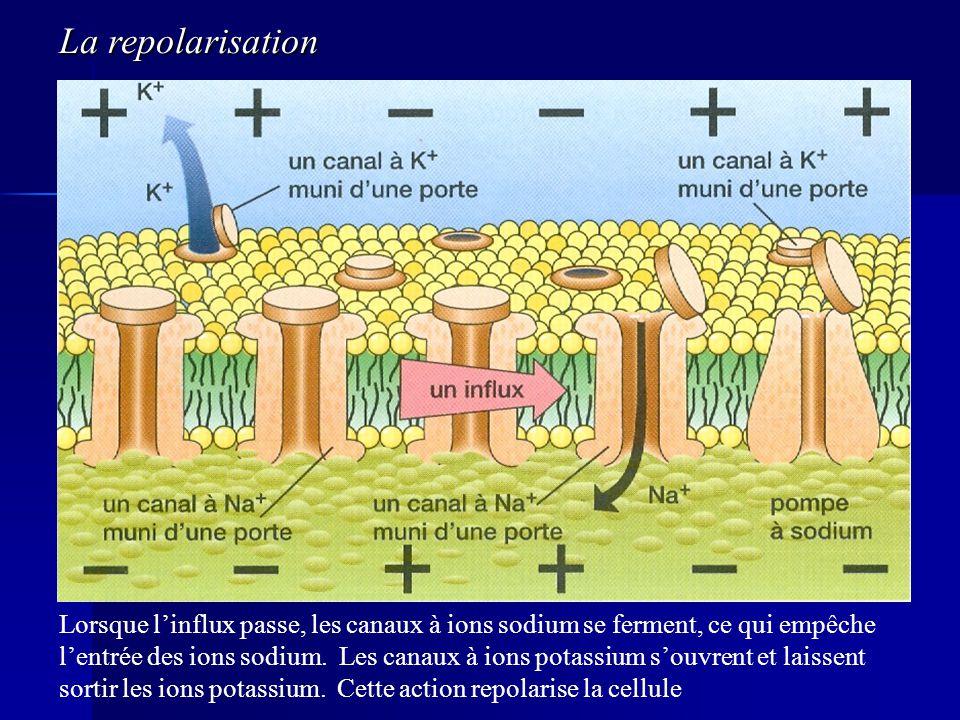 Lorsque linflux passe, les canaux à ions sodium se ferment, ce qui empêche lentrée des ions sodium. Les canaux à ions potassium souvrent et laissent s