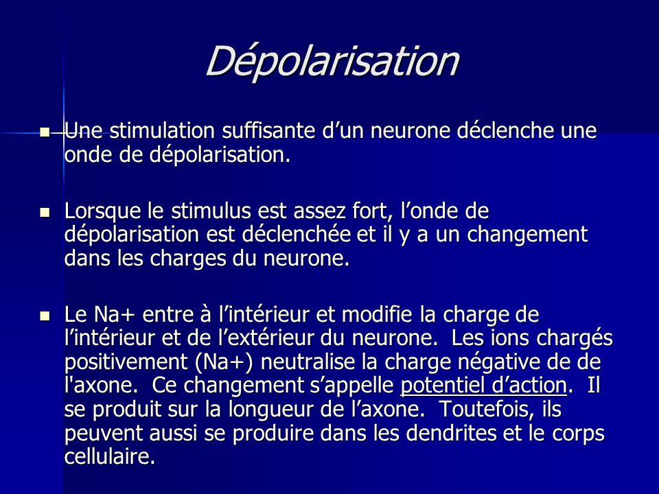 Dépolarisation Une stimulation suffisante dun neurone déclenche une onde de dépolarisation. Une stimulation suffisante dun neurone déclenche une onde