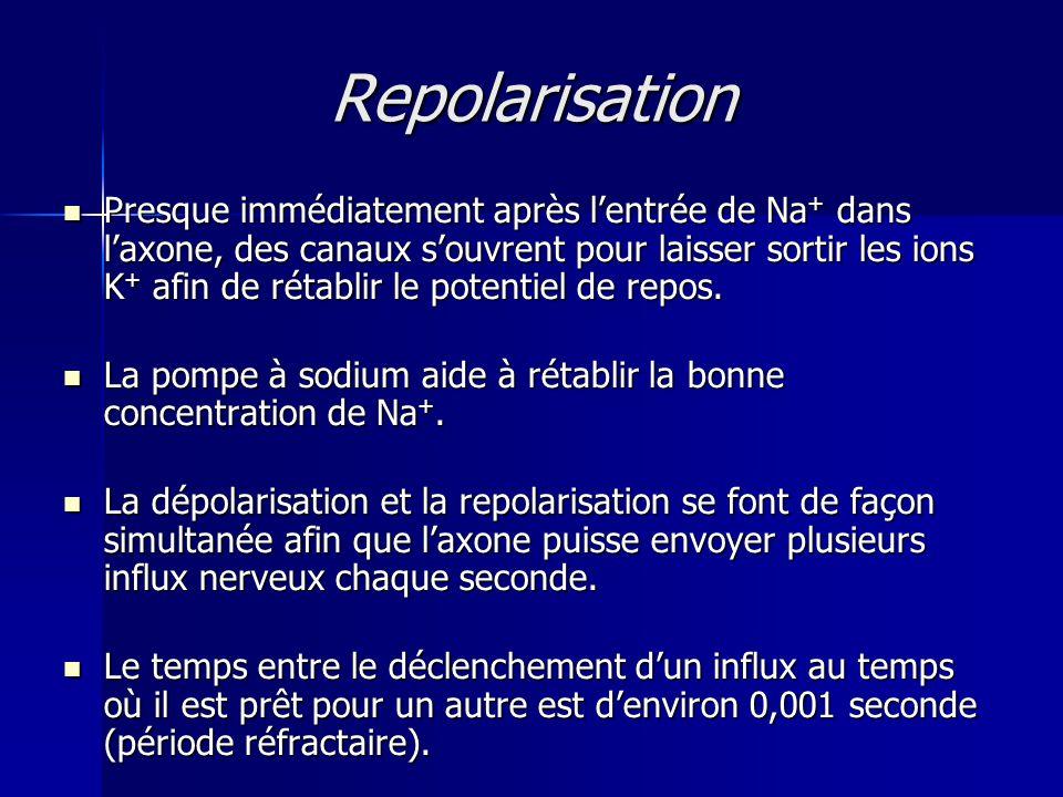 Repolarisation Presque immédiatement après lentrée de Na + dans laxone, des canaux souvrent pour laisser sortir les ions K + afin de rétablir le poten