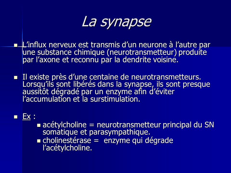 La synapse Linflux nerveux est transmis dun neurone à lautre par une substance chimique (neurotransmetteur) produite par laxone et reconnu par la dend