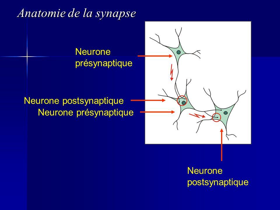 Neurone présynaptique Neurone postsynaptique Neurone présynaptique Neurone postsynaptique Anatomie de la synapse