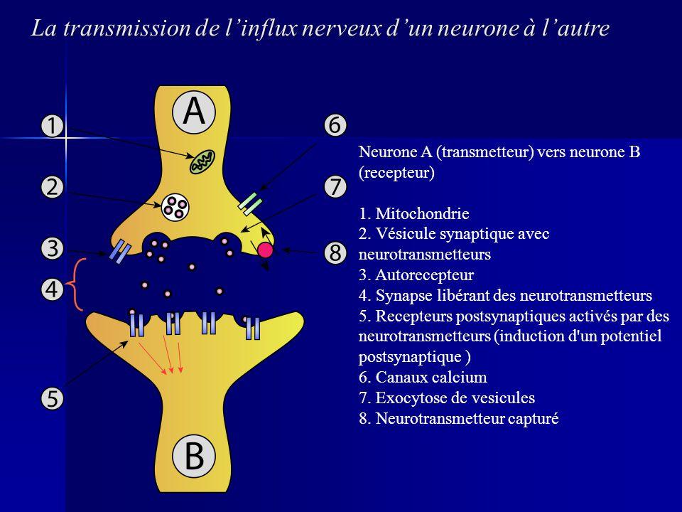 La transmission de linflux nerveux dun neurone à lautre Neurone A (transmetteur) vers neurone B (recepteur) 1. Mitochondrie 2. Vésicule synaptique ave