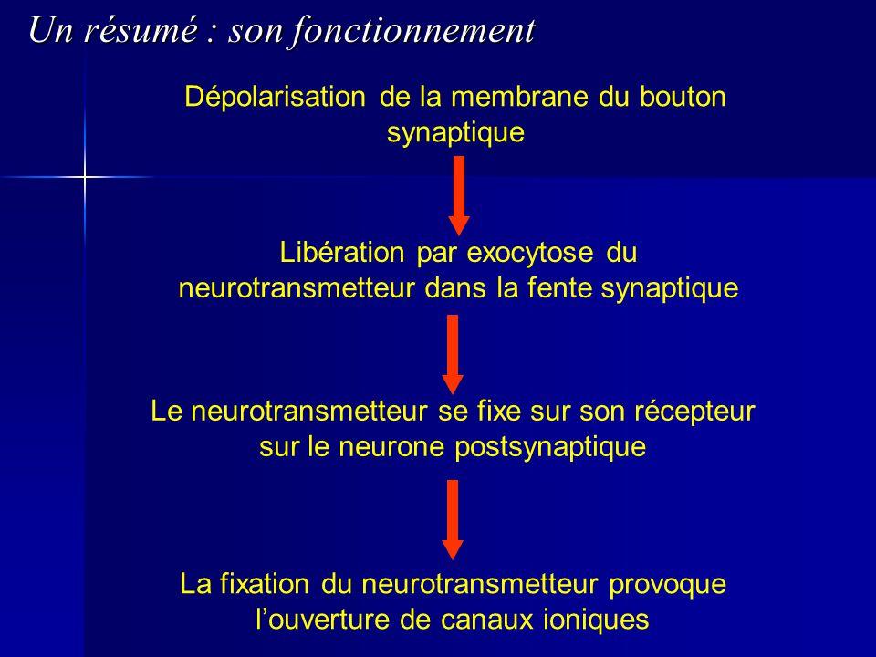 Dépolarisation de la membrane du bouton synaptique Libération par exocytose du neurotransmetteur dans la fente synaptique Le neurotransmetteur se fixe