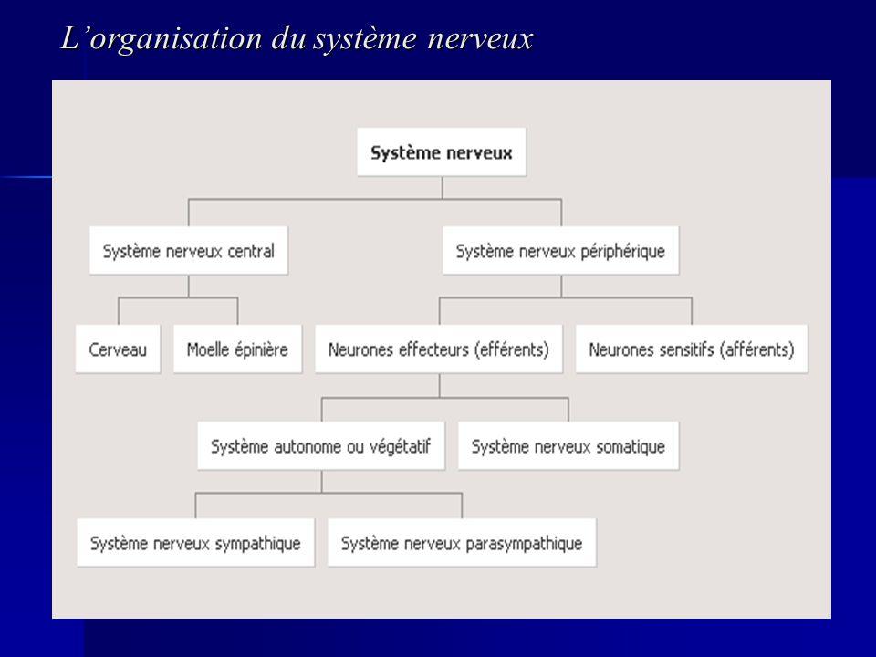 Lorganisation du système nerveux