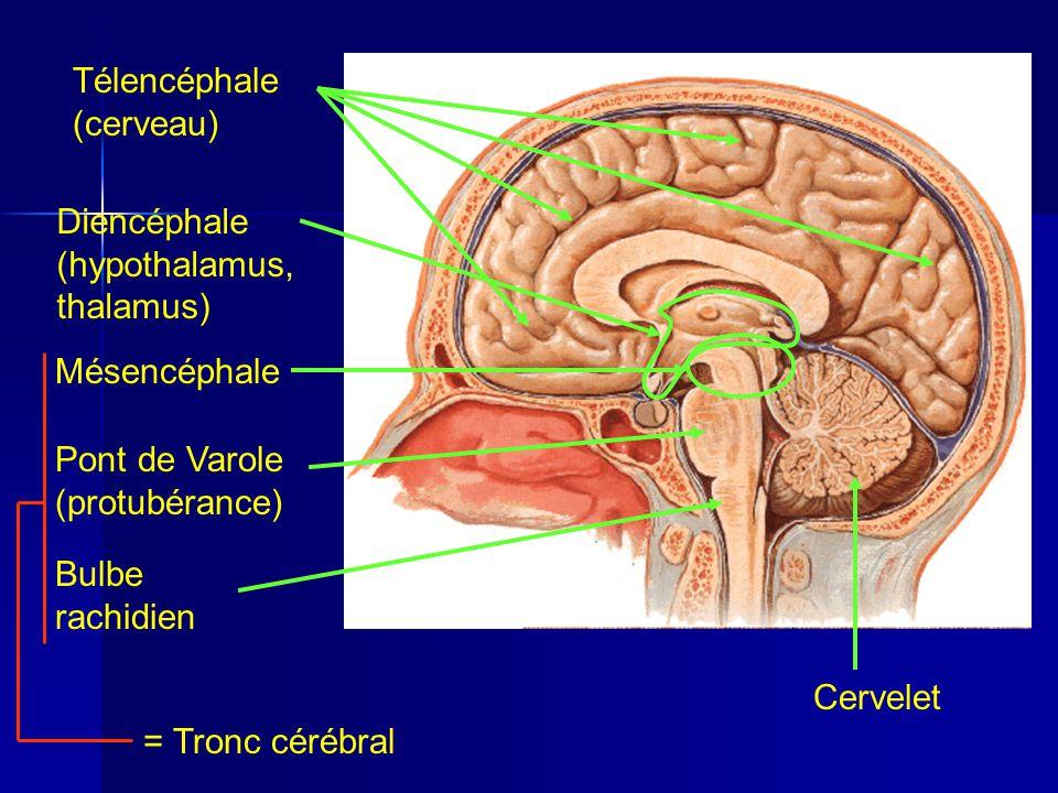 Télencéphale (cerveau) Mésencéphale Pont de Varole (protubérance) Bulbe rachidien = Tronc cérébral CerveletDiencéphale (hypothalamus, thalamus)