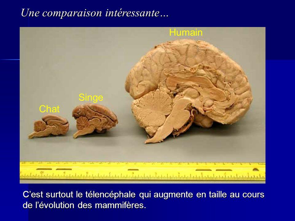 Chat Singe Humain Cest surtout le télencéphale qui augmente en taille au cours de lévolution des mammifères. Une comparaison intéressante…