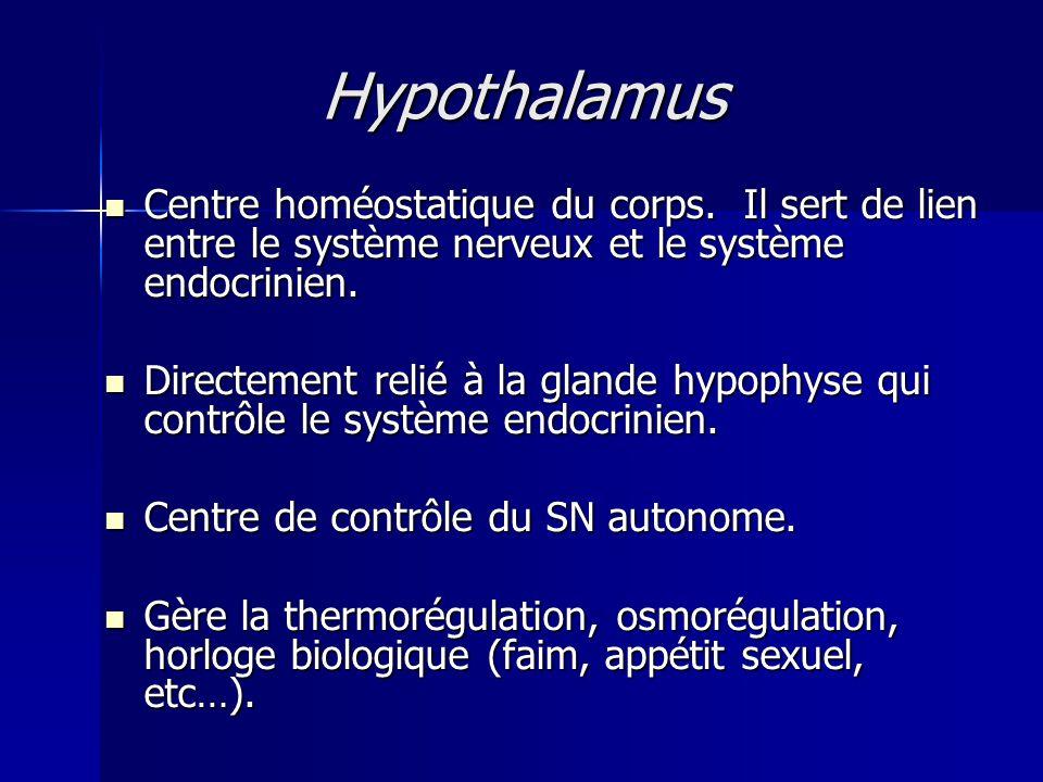 Hypothalamus Centre homéostatique du corps. Il sert de lien entre le système nerveux et le système endocrinien. Centre homéostatique du corps. Il sert