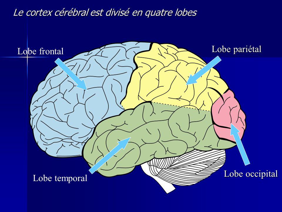 Lobe pariétal Lobe frontal Lobe occipital Lobe temporal Le cortex cérébral est divisé en quatre lobes