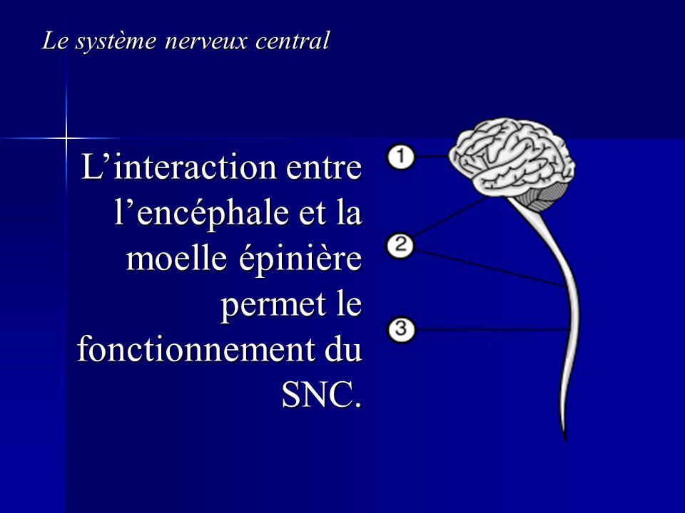 Le système nerveux central Linteraction entre lencéphale et la moelle épinière permet le fonctionnement du SNC.