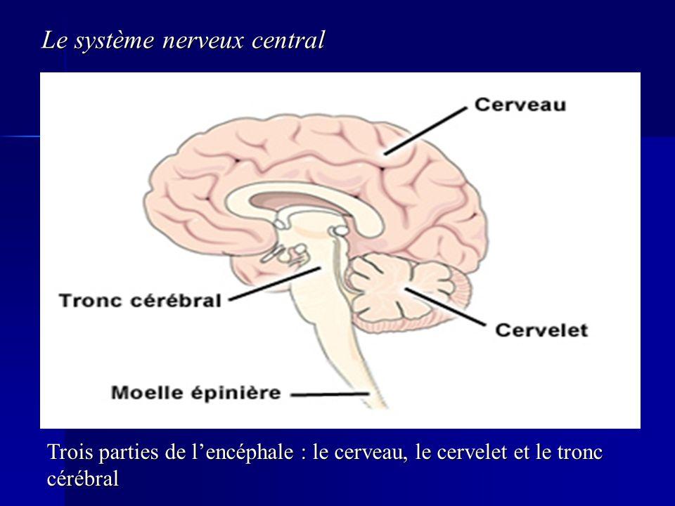 Le système nerveux central Trois parties de lencéphale : le cerveau, le cervelet et le tronc cérébral