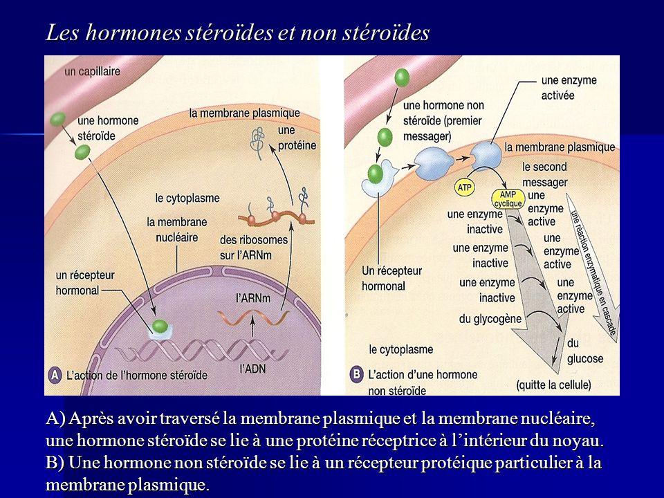 A) Après avoir traversé la membrane plasmique et la membrane nucléaire, une hormone stéroïde se lie à une protéine réceptrice à lintérieur du noyau. B
