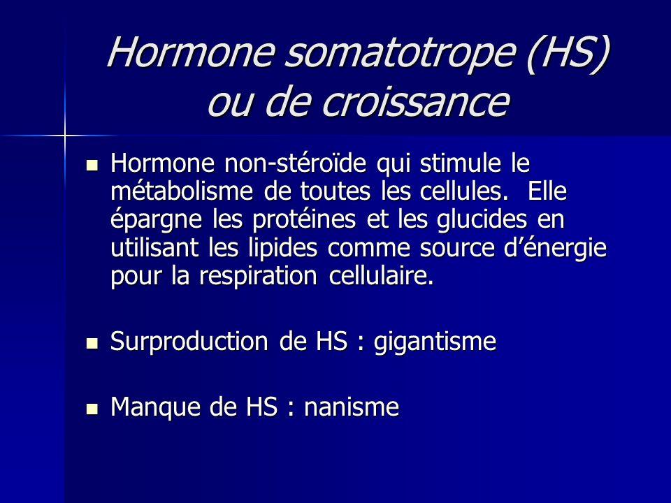 Hormone somatotrope (HS) ou de croissance Hormone non-stéroïde qui stimule le métabolisme de toutes les cellules. Elle épargne les protéines et les gl