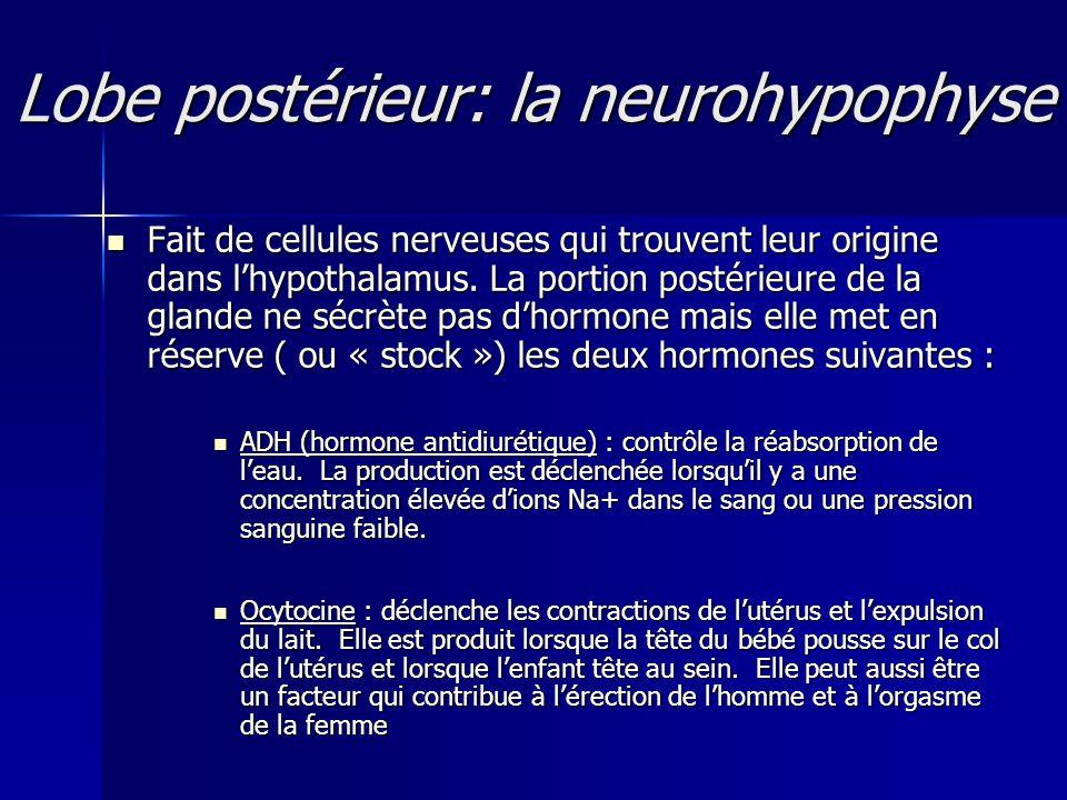 Lobe postérieur: la neurohypophyse Fait de cellules nerveuses qui trouvent leur origine dans lhypothalamus. La portion postérieure de la glande ne séc