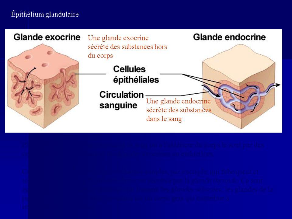 Ce sont des cellules épithéliales cubiques simples, par exemple, qui fabriquent et sécrètent dans le sang l'hormone thyroxine sécrétée par la glande t