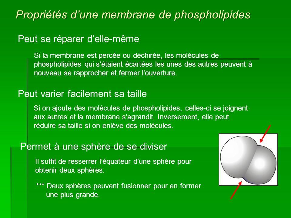 Peut se réparer delle-même Si la membrane est percée ou déchirée, les molécules de phospholipides qui sétaient écartées les unes des autres peuvent à