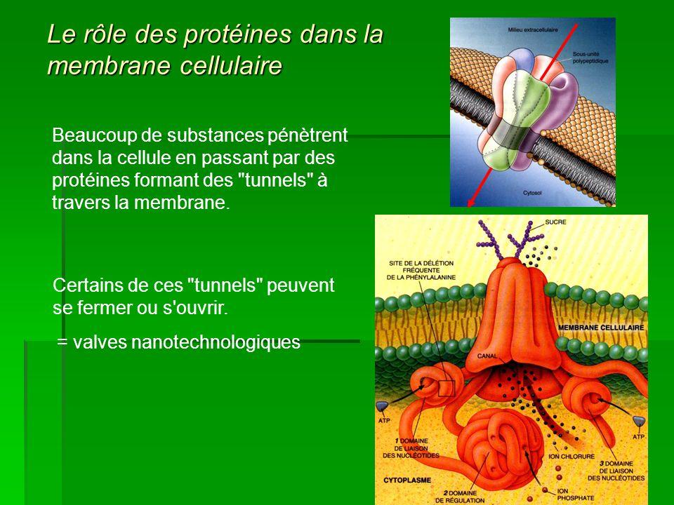 Beaucoup de substances pénètrent dans la cellule en passant par des protéines formant des