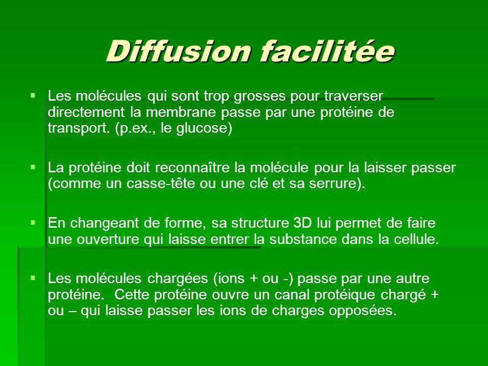 Diffusion facilitée Les molécules qui sont trop grosses pour traverser directement la membrane passe par une protéine de transport. (p.ex., le glucose