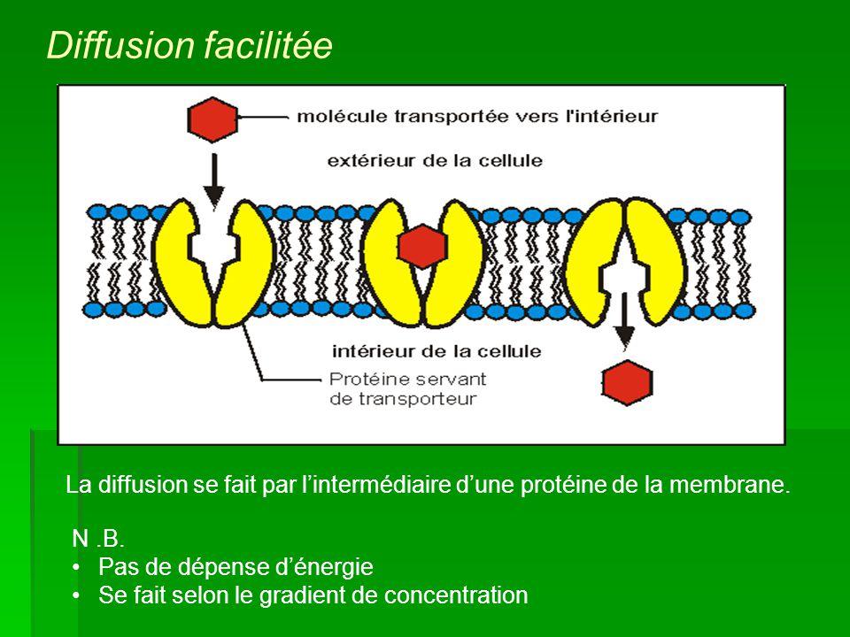 La diffusion se fait par lintermédiaire dune protéine de la membrane. N.B. Pas de dépense dénergie Se fait selon le gradient de concentration Diffusio