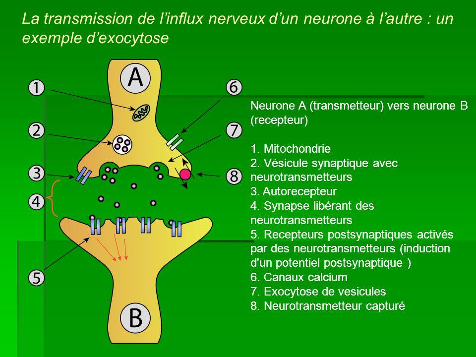 La transmission de linflux nerveux dun neurone à lautre : un exemple dexocytose Neurone A (transmetteur) vers neurone B (recepteur) 1. Mitochondrie 2.