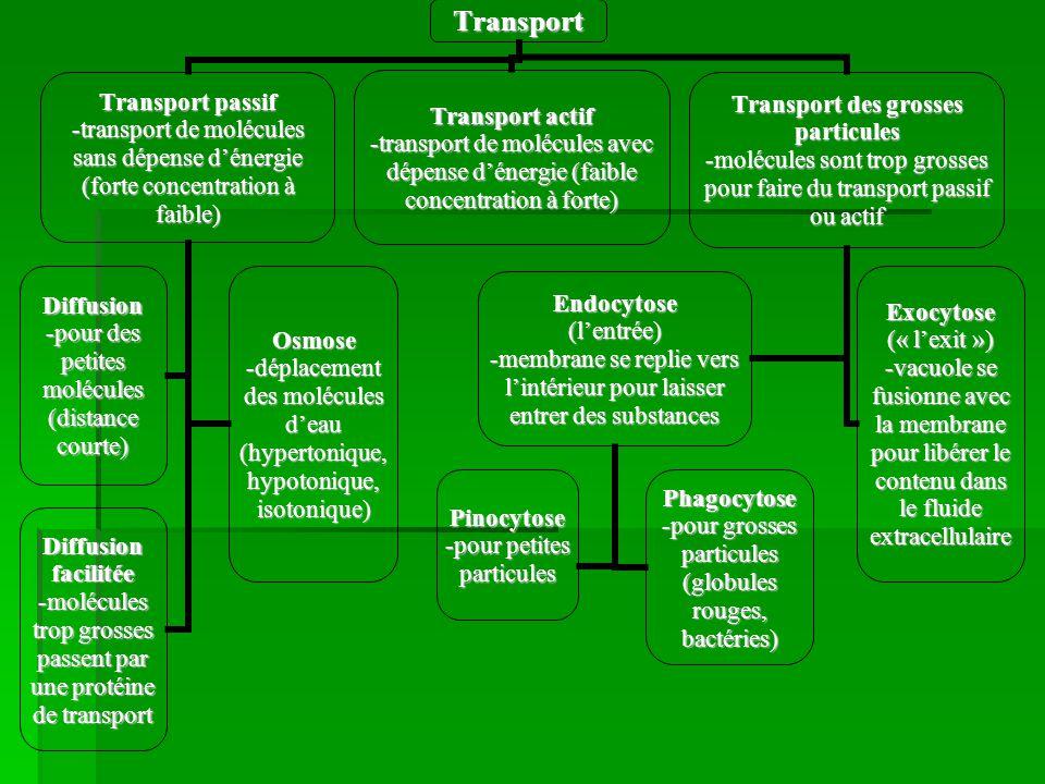 Transport Transport passif -transport de molécules sans dépense dénergie (forte concentration à faible) Diffusion -pour des petites molécules (distanc