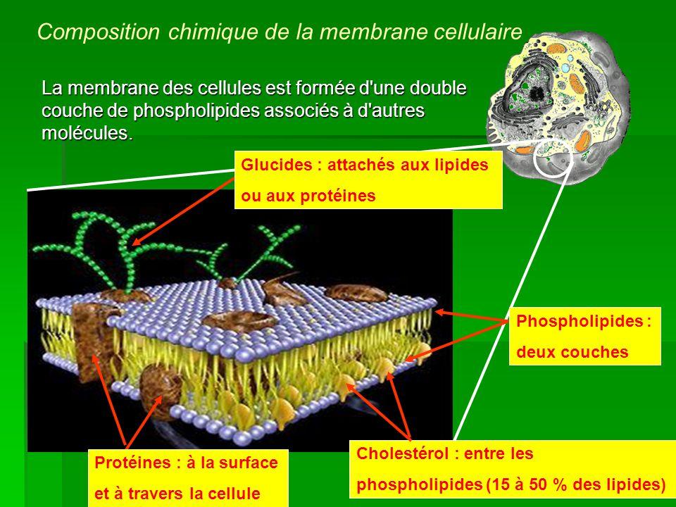 La membrane des cellules est formée d'une double couche de phospholipides associés à d'autres molécules. Cholestérol : entre les phospholipides (15 à