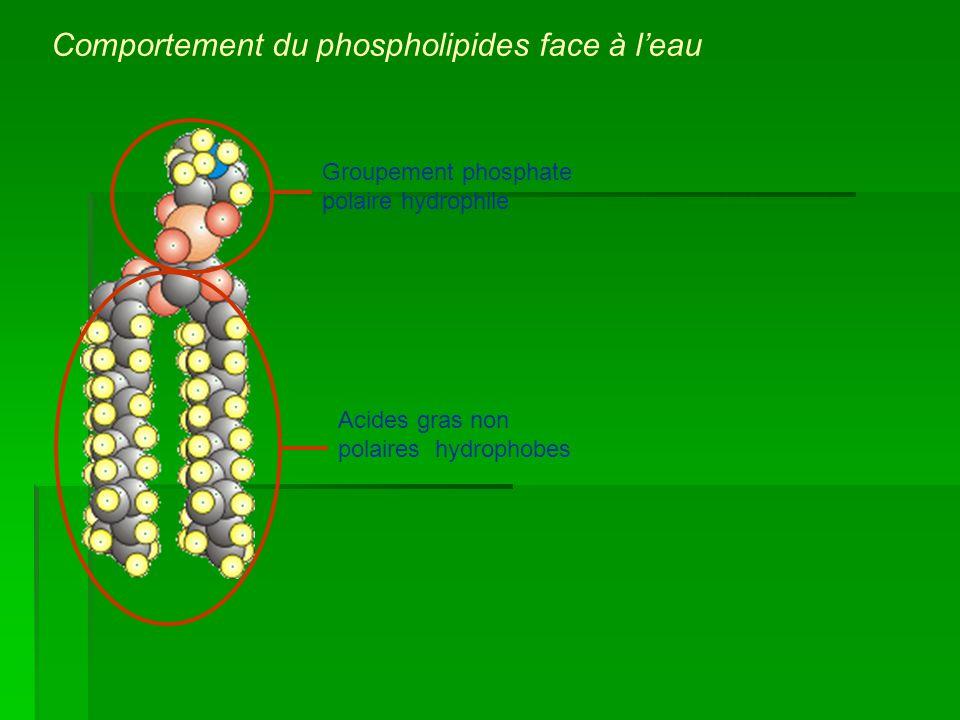 Groupement phosphate polaire hydrophile Acides gras non polaires hydrophobes Comportement du phospholipides face à leau