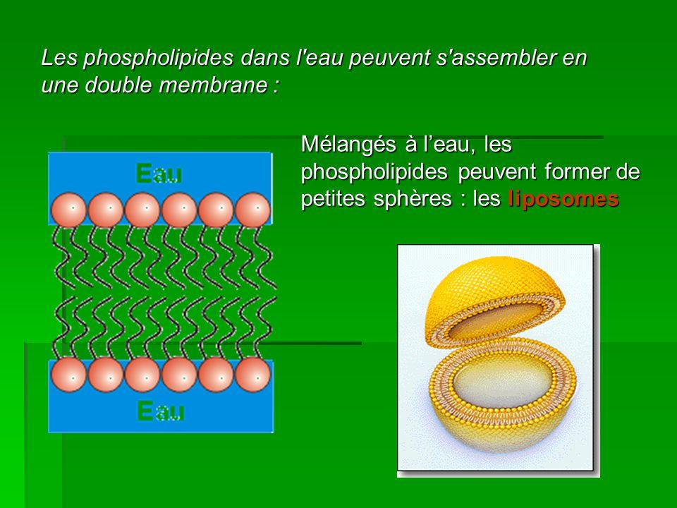 Les phospholipides dans l'eau peuvent s'assembler en une double membrane : Mélangés à leau, les phospholipides peuvent former de petites sphères : les