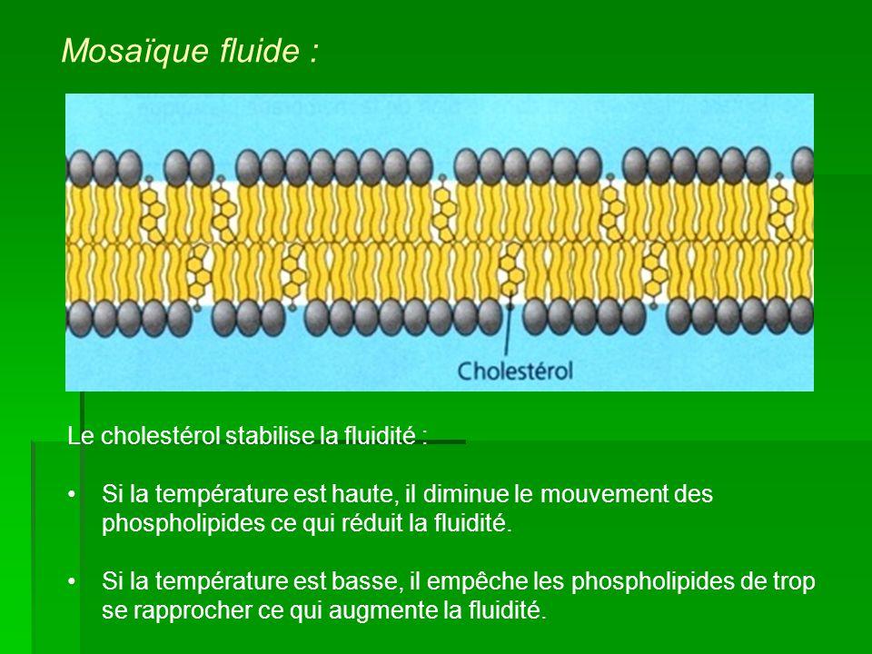 Le cholestérol stabilise la fluidité : Si la température est haute, il diminue le mouvement des phospholipides ce qui réduit la fluidité. Si la tempér