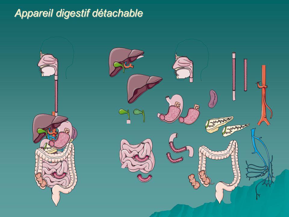 Cest un ensemble de contractions involontaires par les muscles qui prennent naissance dans lœsophage qui permet au bol alimentaire de faire son passage à lestomac.