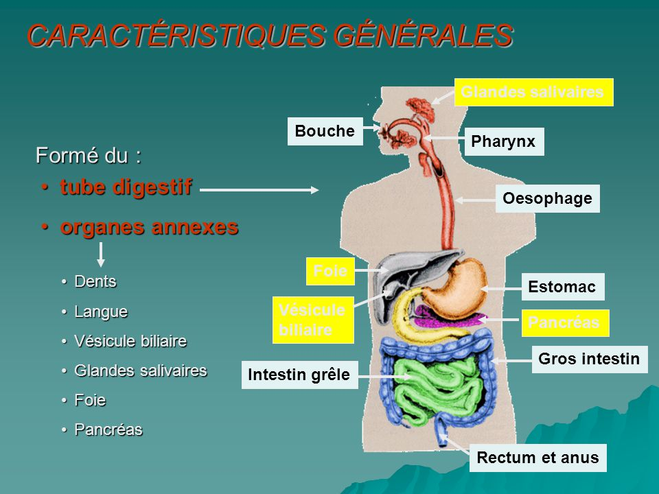1.Ingestion 2.Propulsion (péristaltisme) 3.Digestion mécanique 4.Digestion chimique 5.Absorption 6.Défécation Processus digestifs