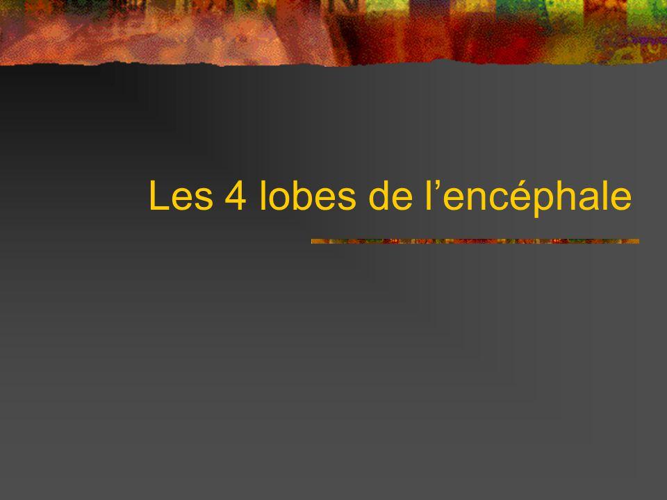 Les 4 lobes de lencéphale