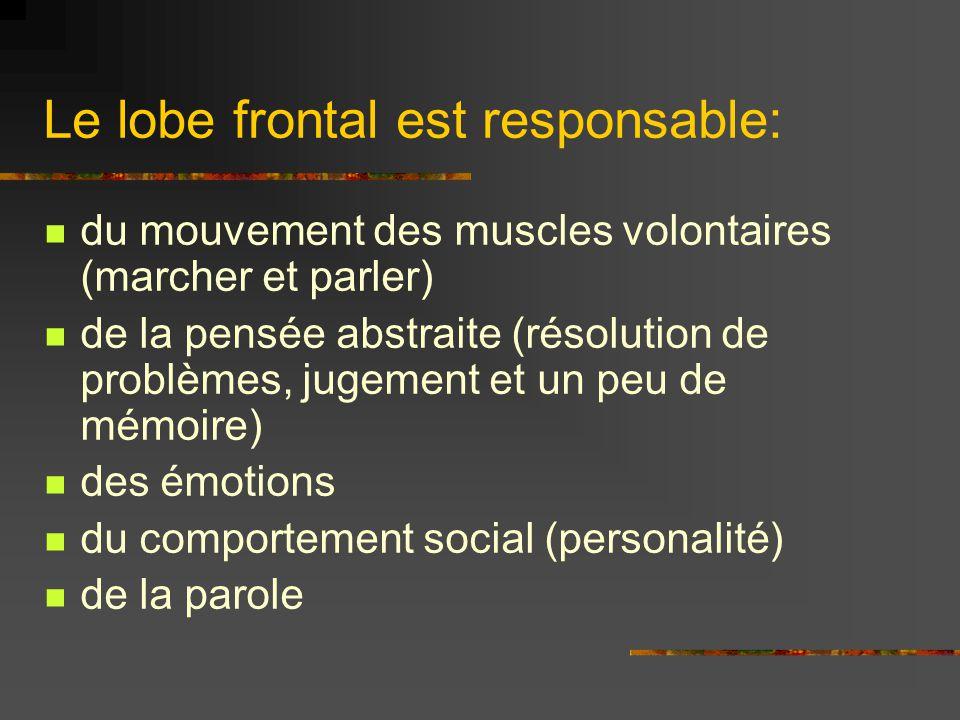 Le lobe frontal est responsable: du mouvement des muscles volontaires (marcher et parler) de la pensée abstraite (résolution de problèmes, jugement et un peu de mémoire) des émotions du comportement social (personalité) de la parole