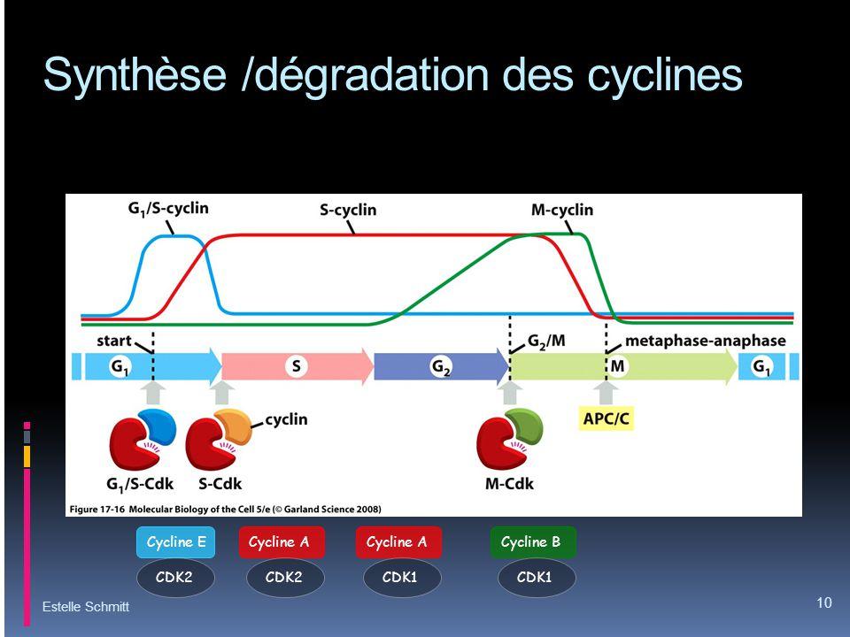Synthèse /dégradation des cyclines Estelle Schmitt 10 Cycline ECycline ACycline B CDK2 CDK1 Cycline A CDK1