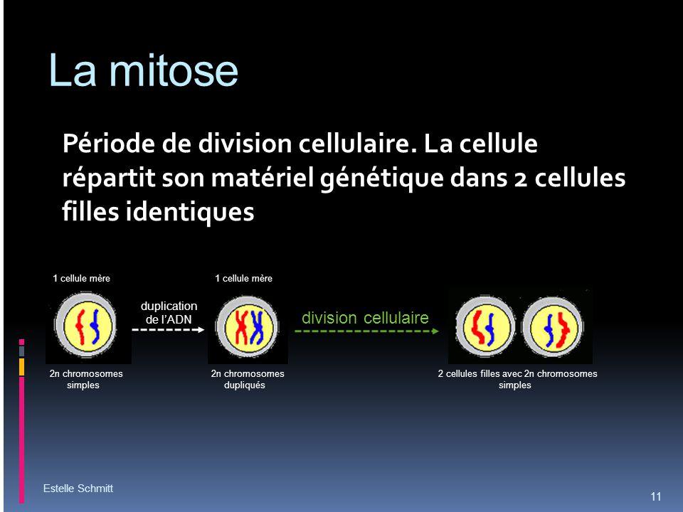 La mitose Période de division cellulaire. La cellule répartit son matériel génétique dans 2 cellules filles identiques Estelle Schmitt 11 2n chromosom