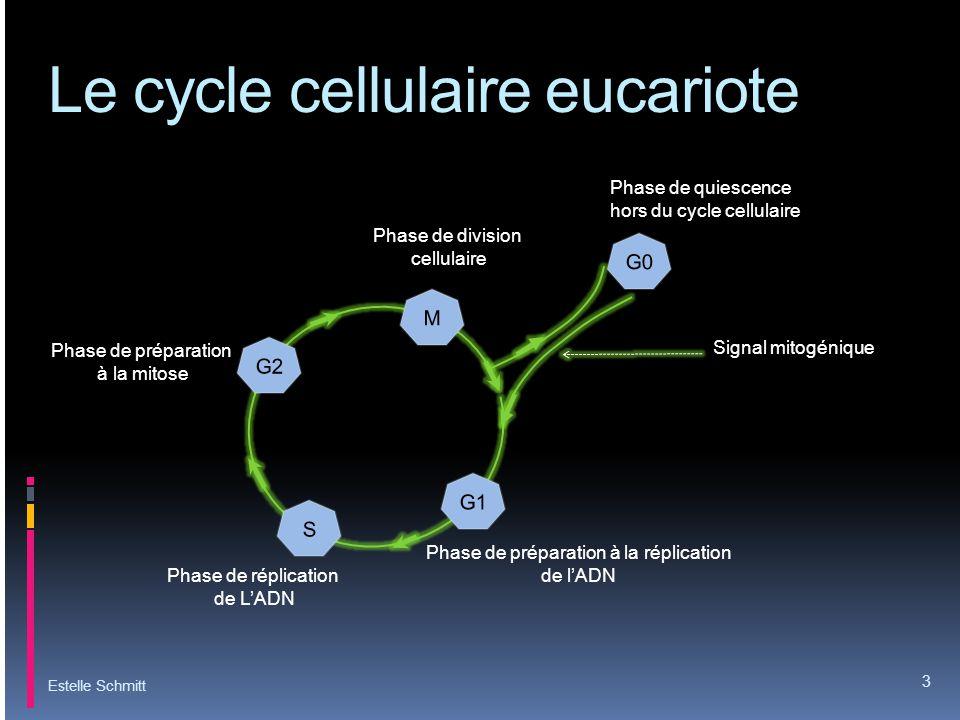 Le cycle cellulaire eucariote Estelle Schmitt 3 Signal mitogénique Phase de quiescence hors du cycle cellulaire Phase de réplication de LADN Phase de