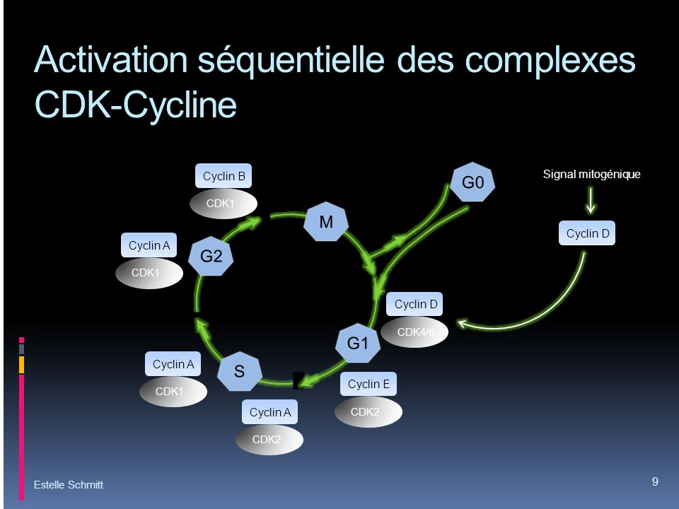 Synthèse /dégradation des cyclines Estelle Schmitt 10 Cycline ECycline ACycline B CDK2 CDK1 Cycline A CDK1