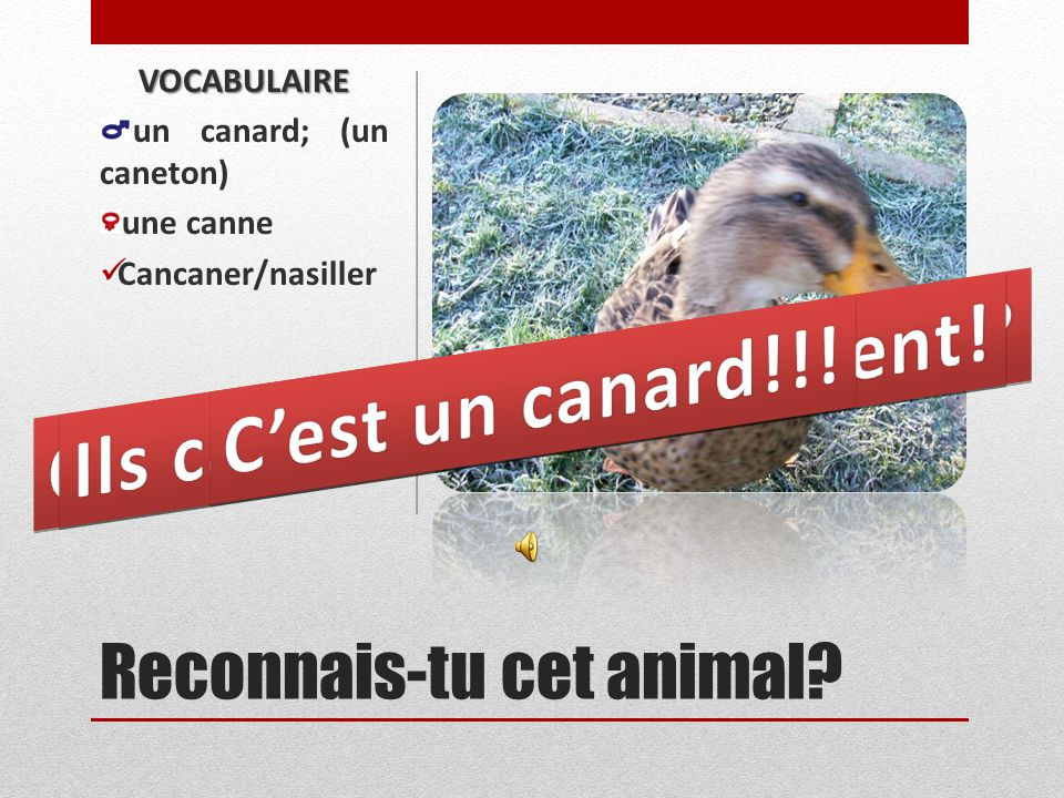 A quel animal penses-tu? VOCABULAIRE Un bœuf/taureau; (un veau) une vache; (une génisse) mugir/beugler/ meugler