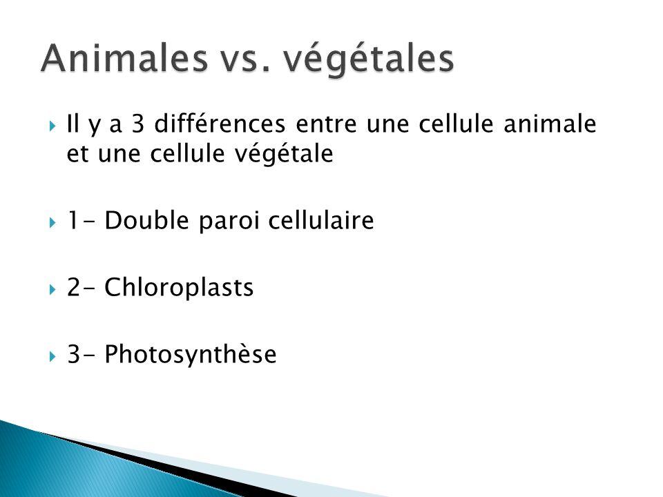 Il y a 3 différences entre une cellule animale et une cellule végétale 1- Double paroi cellulaire 2- Chloroplasts 3- Photosynthèse