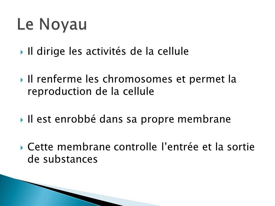 Il dirige les activités de la cellule Il renferme les chromosomes et permet la reproduction de la cellule Il est enrobbé dans sa propre membrane Cette