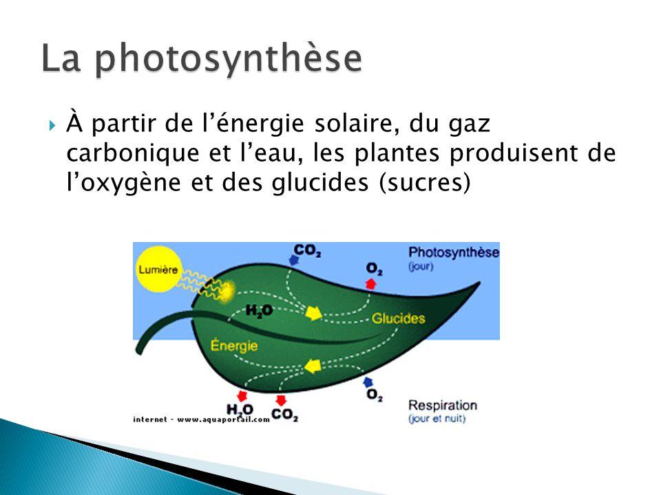 À partir de lénergie solaire, du gaz carbonique et leau, les plantes produisent de loxygène et des glucides (sucres)