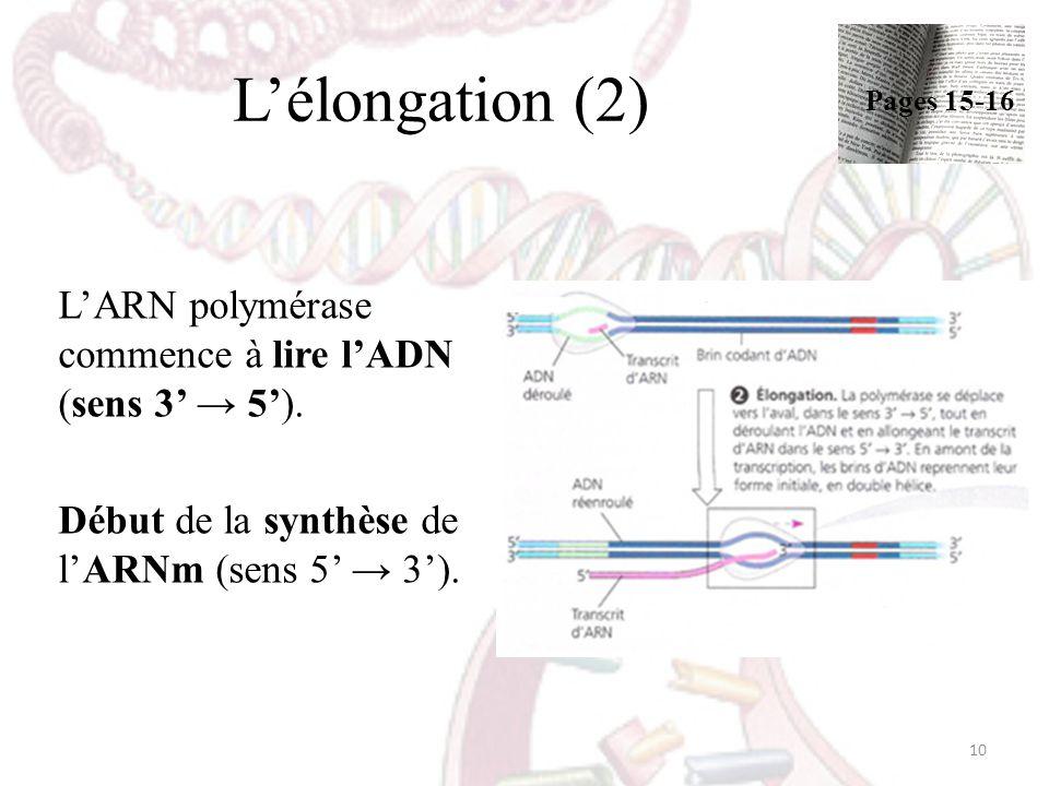 Lélongation (2) LARN polymérase commence à lire lADN (sens 3 5). Début de la synthèse de lARNm (sens 5 3). 10 Pages 15-16