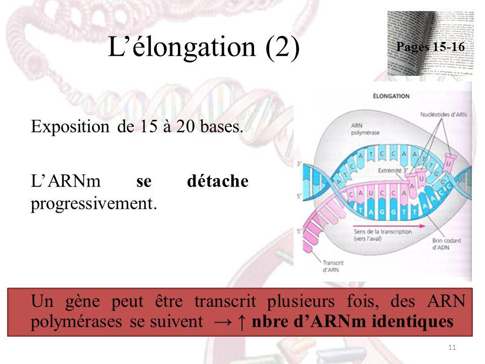 Lélongation (2) Exposition de 15 à 20 bases. LARNm se détache progressivement. Un gène peut être transcrit plusieurs fois, des ARN polymérases se suiv