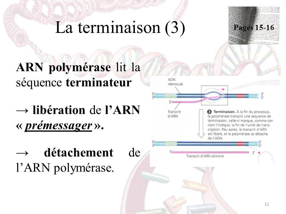 La terminaison (3) ARN polymérase lit la séquence terminateur libération de lARN « prémessager ». détachement de lARN polymérase. 12 Pages 15-16