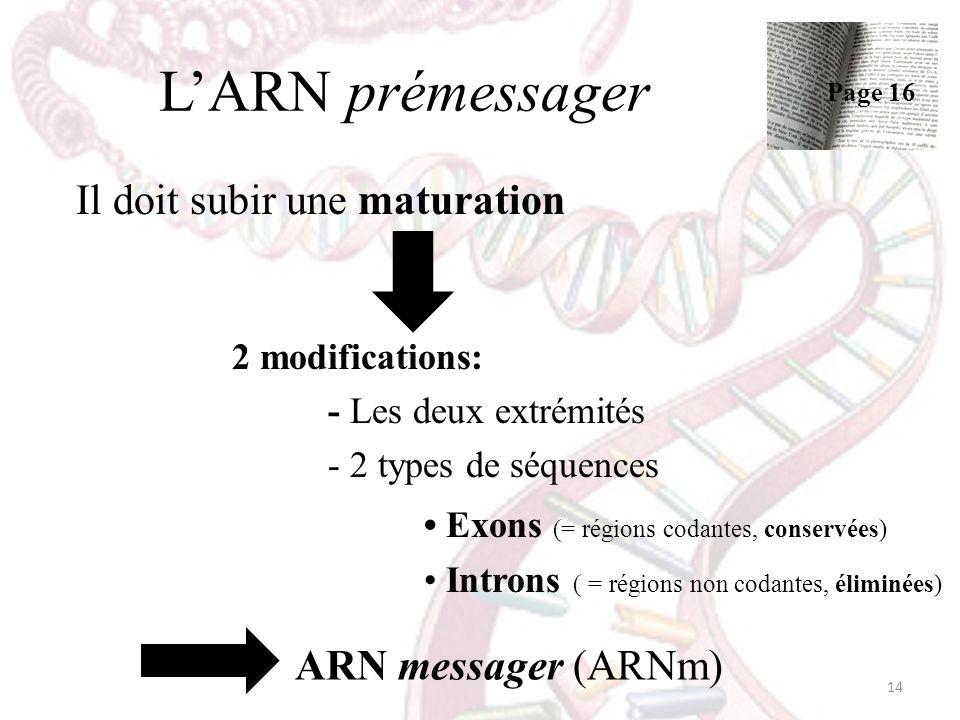 LARN prémessager Il doit subir une maturation 2 modifications: - Les deux extrémités - 2 types de séquences Exons (= régions codantes, conservées) Int